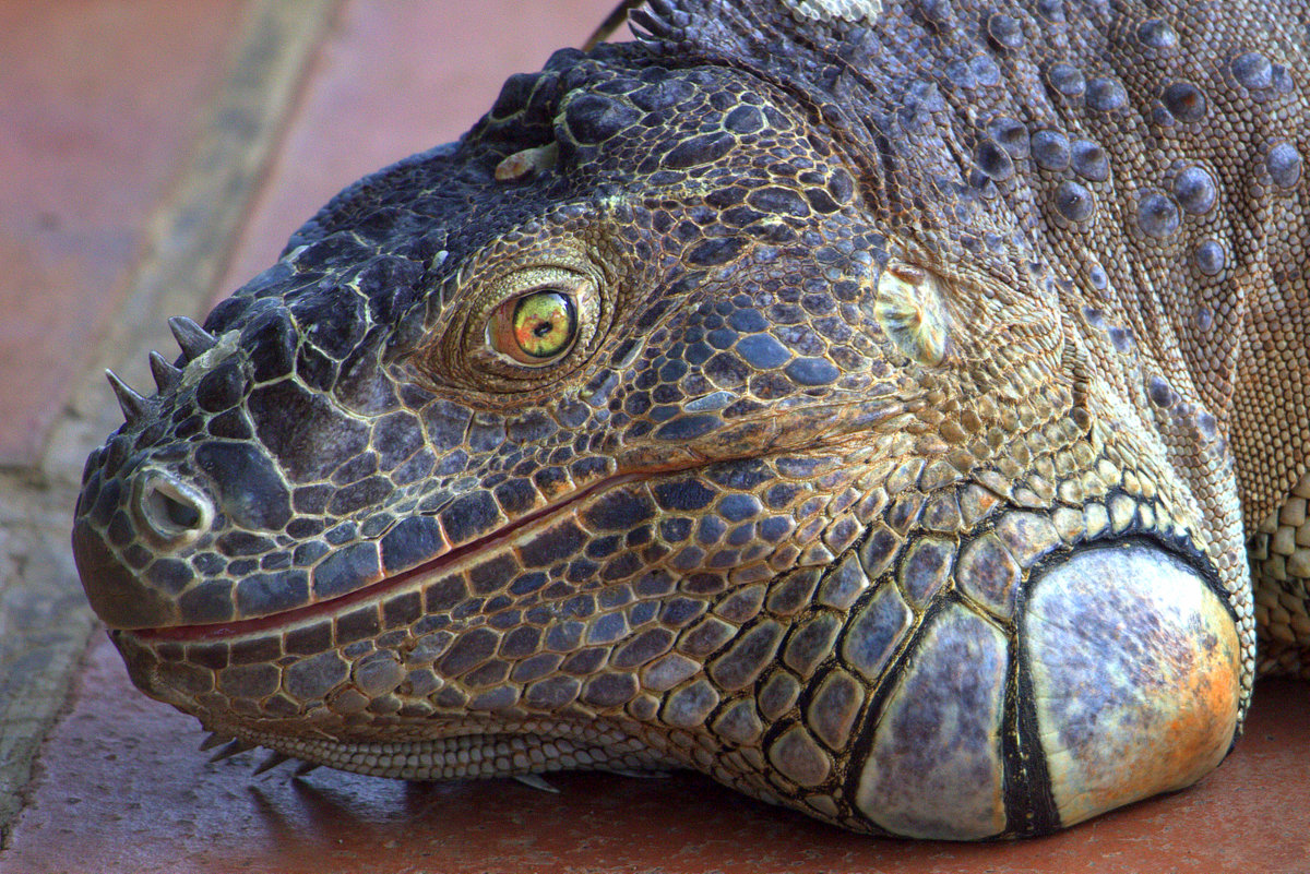 Pet Iguana In El Zonte