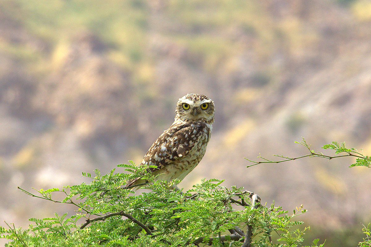 Owl In Tucume