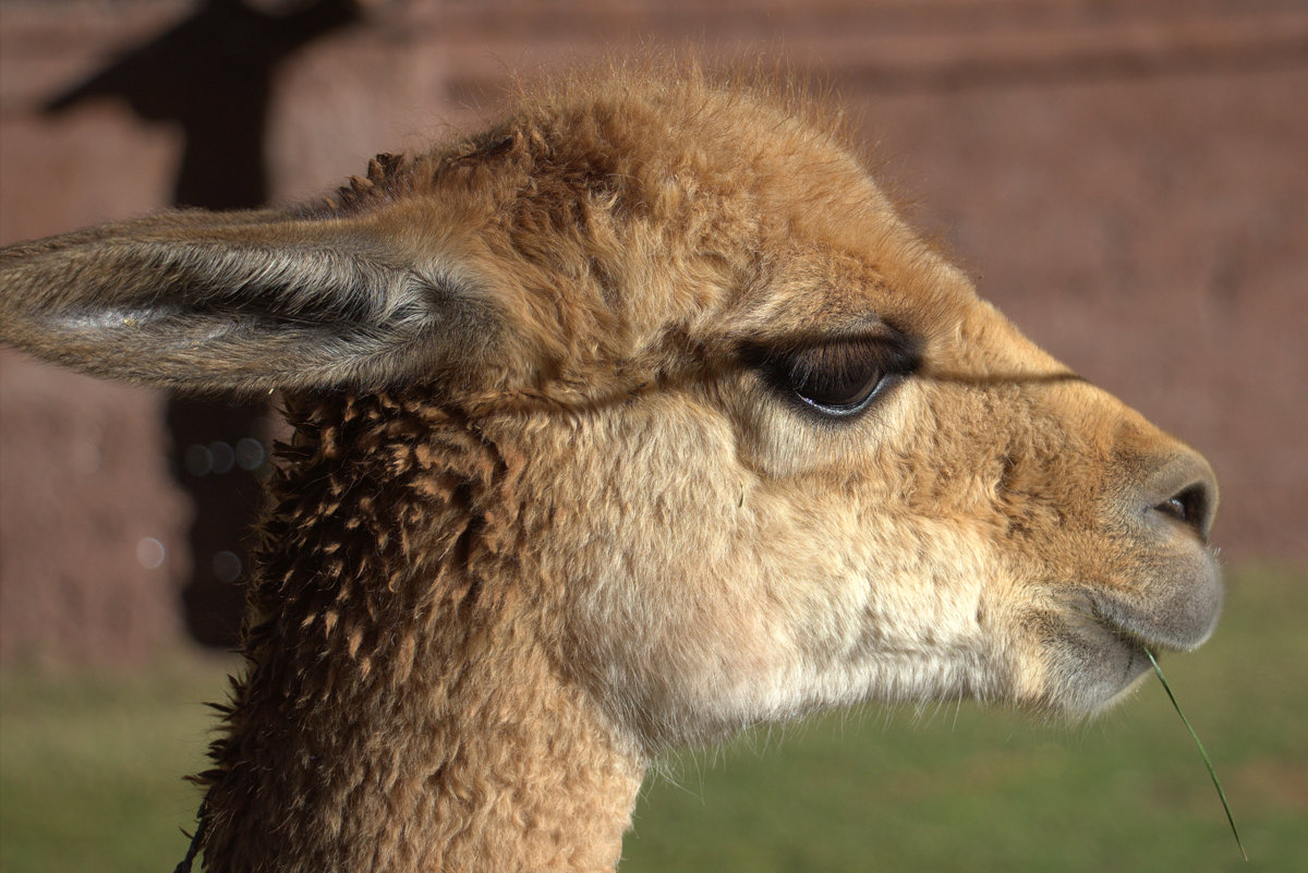 Vicuna At Animal Sanctuary
