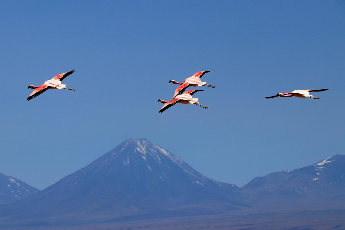 Flamingos At The Atacama Desert